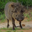Mature double tusked warthog -- South Africa